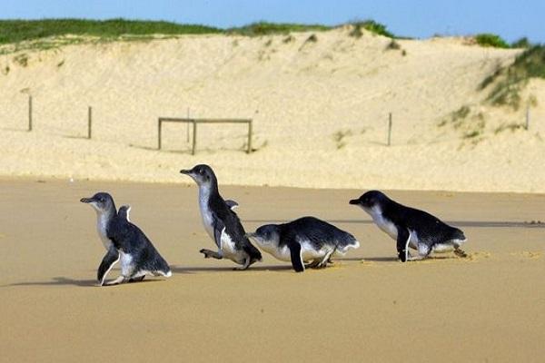 Mavi penguenleri korumak için alt geçit yapılacak