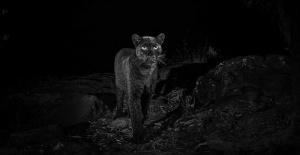 Siyah leopar 100 yıldır ilk kez görüntülendi